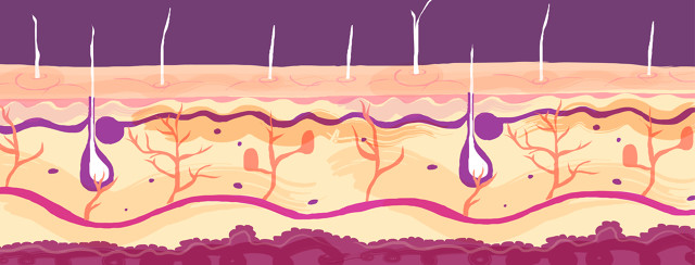 Stylized interpretation of a scientific diagram of the skin layers and segments.