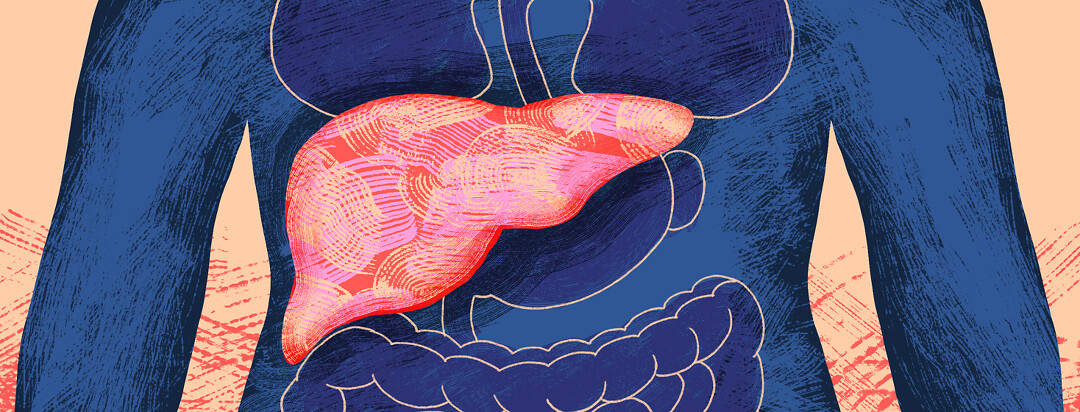An inside look at the organs with an inflamed liver.